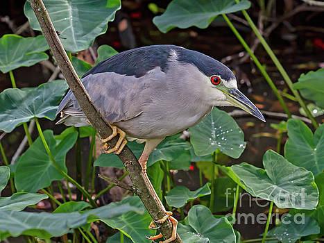 Black-Crowned Night Heron by Blair Howell