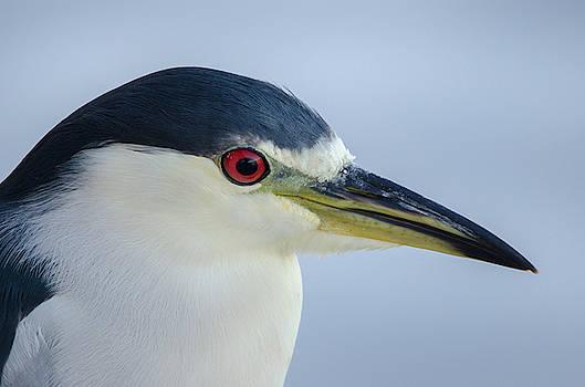 Black-crowned Night heron by James Petersen