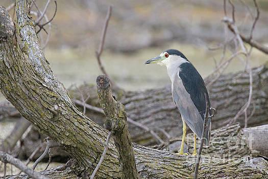 Black Crowned Night Heron on Log by Nikki Vig