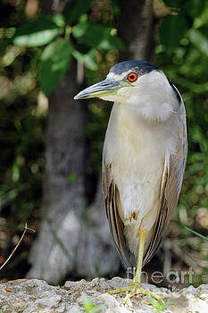 Black Crowned Night Heron on Turner River by Natural Focal Point Photography