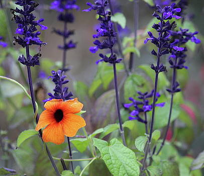 Cathy Lindsey - Black-Eyed Susan And Black And Blue Salvia