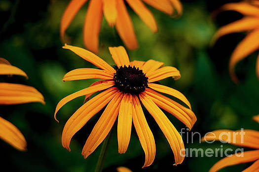 Black Eyed Susan by Sharon Mayhak