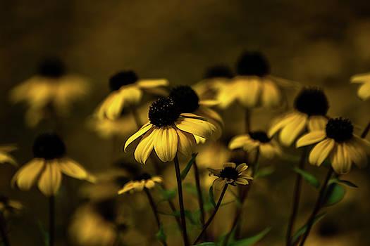 Black Eyed Susans by Tim Beebe
