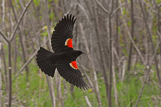 Black feathers in-flight by Asbed Iskedjian