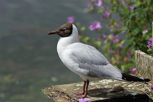 Black headed gull on watch by Scott Lyons