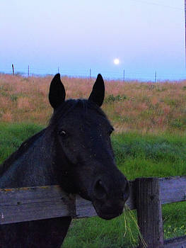 Black Horse Resting on Fence at Dusk  by Deborah Kinisky