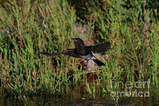 Black Phoebe Hunting 9130 by Craig Corwin