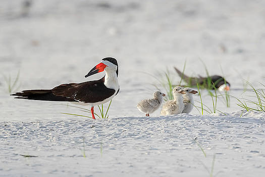 Susan Rissi Tregoning - Black Skimmer with Chicks