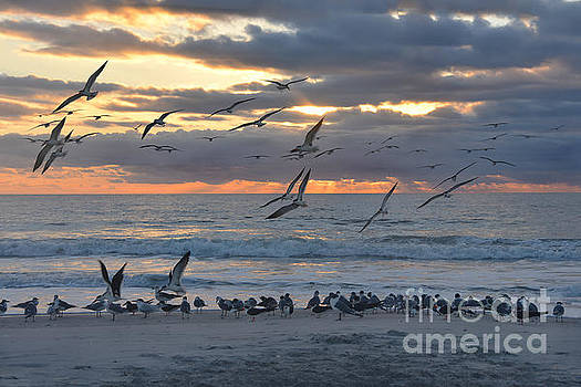 Black Skimmers Landing on the Beach at Sunrise by Catherine Sherman