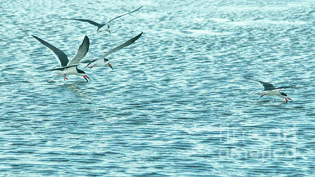 Black Skimmers by Sharon Mayhak