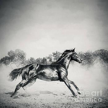 Black stallion horse by Dimitar Hristov