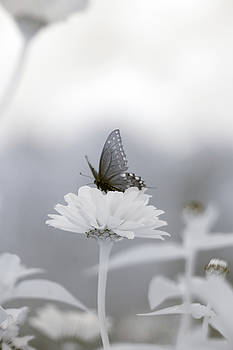 Black Swallowtail Infrared 2 by Brian Hale