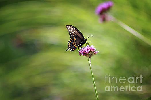 Black Swallowtail Landed by Karen Adams