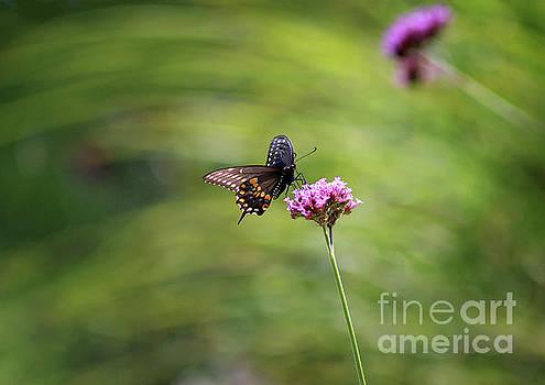 Black Swallowtail Landing by Karen Adams