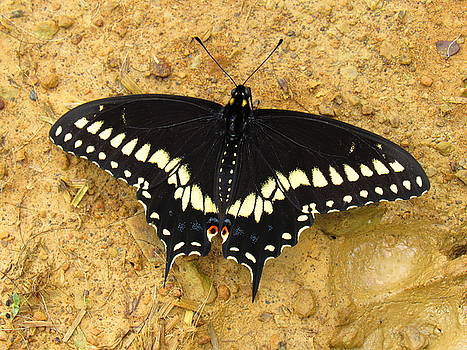 Black Swallowtail by Mandy Byrd