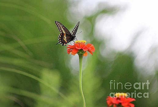 Black Swallowtail on Orange Zinnia by Karen Adams