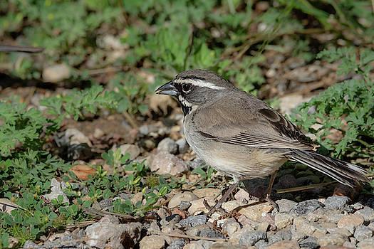 Black Throated Sparrow Foraging by Debra Martz