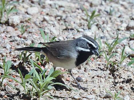 Janet Marie - Black-throated Sparrow Sweetheart
