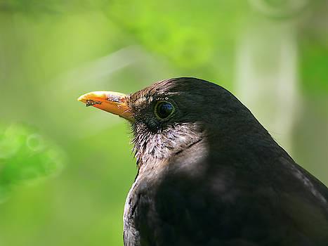 Blackbird in dappled shade by James Lamb