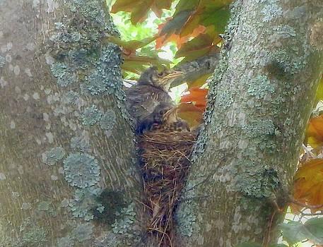 Blackbird Nest With Big Chicks by Johanna Hurmerinta