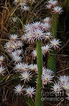 Blooming Cactus by Craig Wood