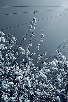 Blossoms and Telephone Lines  by Angela Seager