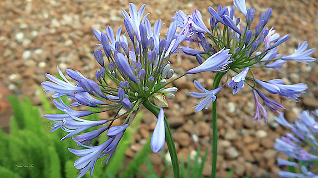 Connie Fox - Blue Agapanthus