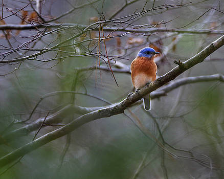 Blue Bird siting in a tree by Seth Solesbee