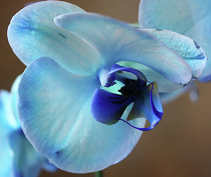 Blue Browalia Flower  by Deborah Kinisky