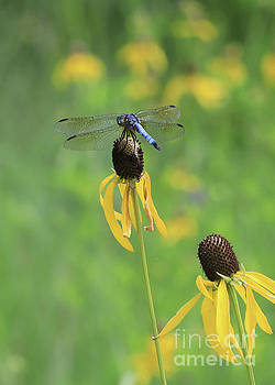 Blue Dasher and Yellow Cone Flower by Paula Guttilla