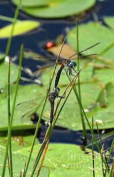 Cindy Treger - Blue Dasher Dragonflies Mating