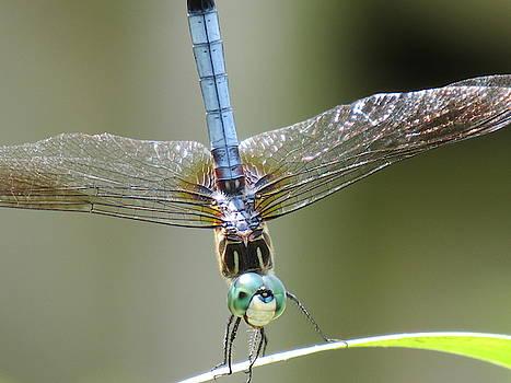 Blue Dasher Dragonfly by Mandy Byrd
