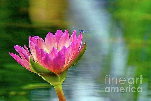 Blue Dragon Fly on Lily by Susan Rydberg