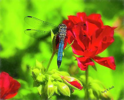 Blue Dragonfly on red flower. by Rusty R Smith