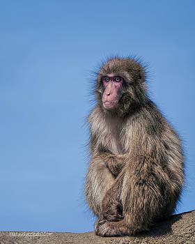 Blue Eyed Macaque by LeeAnn McLaneGoetz McLaneGoetzStudioLLCcom