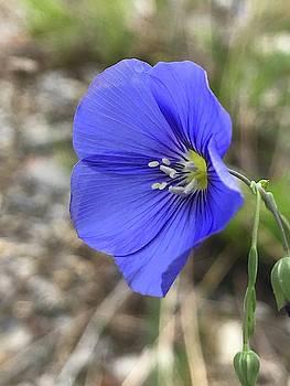 Blue Flax by Norman Burnham