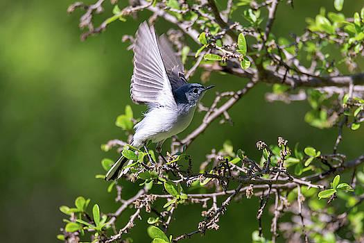 Blue Gray Gnatcatcher Preparing for Take Off by Debra Martz