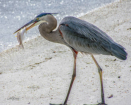 Blue Heron and His Lunch by Natalie Simon-Joens