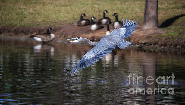 Dale Powell - Blue Heron Coming in Hot