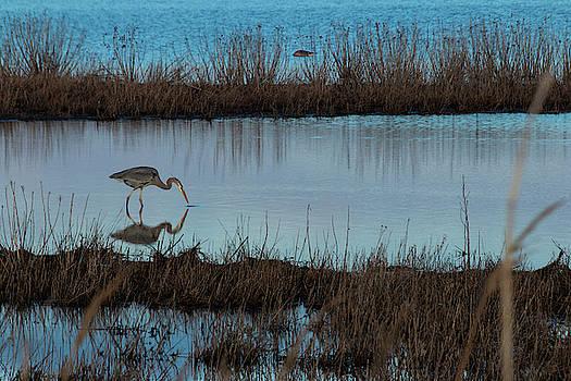 Blue Heron Fishing by Sharon Mayhak