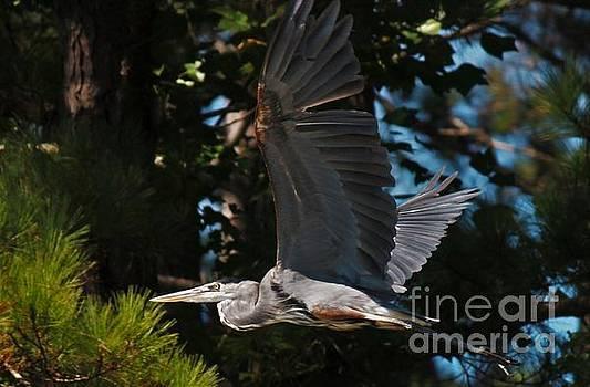 Blue Heron in Flight by Angela Stafford