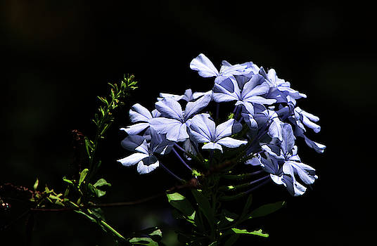 Blue Jasmine Plumbago by William Tasker