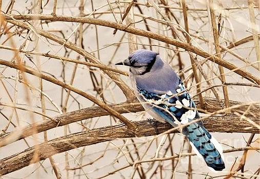 Blue Jay          Spring         Indiana by Rory Cubel