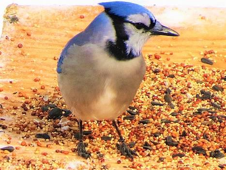 Blue Jay 1 by Vijay Sharon Govender
