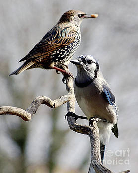 Cindy Treger - I Think He Took The Last Nut - Blue Jay And European Starling