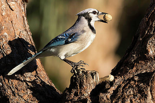 Blue Jay and his nuts by Darrell Gregg
