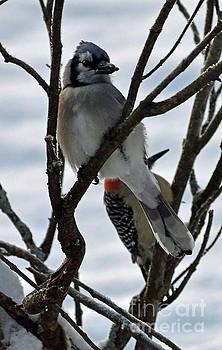 Cindy Treger - Blue Jay And Red-bellied Woodpecker