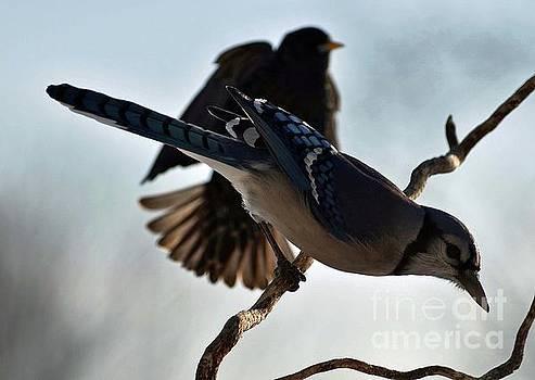 Cindy Treger - Blue Jay And Shadow Bird