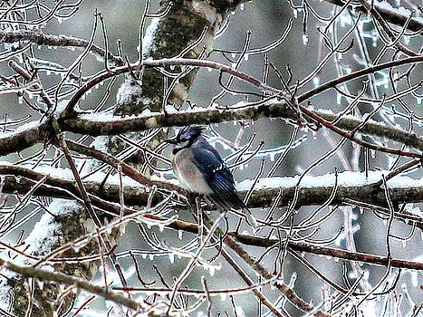 Brian Cole - Blue Jay in Ice