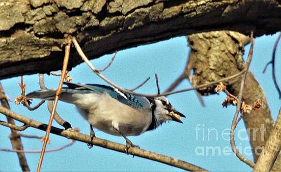 Blue Jay In Maple Tree        Spring          Indiana by Rory Cubel